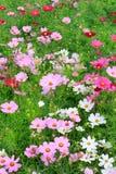 Fermez-vous vers le haut de beau coloré du gisement de fleurs de cosmos dans le plantatio Images libres de droits
