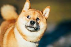 Fermez-vous vers le haut de beau rester rouge de chiot de Shiba Inu Photographie stock libre de droits