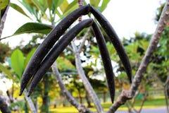 Fermez-vous vers le haut de belles espèces étonnantes de Plumeria couleur noire de frangipani de fruit sur le fond vert de feuill Images libres de droits