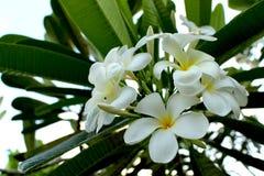 Fermez-vous vers le haut de belles espèces étonnantes de Plumeria Fleurs de Frangipani sur le fond vert de feuille Photos stock