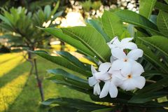 Fermez-vous vers le haut de belles espèces étonnantes de Plumeria le frangipani fleurit sur le fond vert de feuille, fleur blanch Images libres de droits