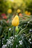 fermez-vous vers le haut de belles tulipes colorées fleurissant avec le coucher du soleil/soleil Photos stock
