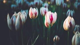 Fermez-vous vers le haut de belles tulipes le jour d'été dans le ton foncé avec la copie S Photographie stock