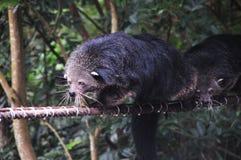 Fermez-vous vers le haut de Binturong ou Bearcat Binturong ou Arctictis Binturong photographie stock