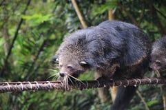 Fermez-vous vers le haut de Binturong ou Bearcat Binturong ou Arctictis Binturong image stock