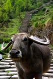 fermez-vous vers le haut de Buffalo d'eau sur la traînée Photographie stock libre de droits