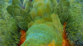 Fermez-vous vers le haut de coloré de Catalina Macaw Hybrid entre l'ara d'écarlate et l'oiseau bleu et jaune d'ara images stock
