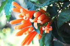 Fermez-vous vers le haut de Coral Plant orange, usine de fontaine Images stock