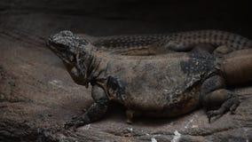 Fermez-vous vers le haut de deux lézards d'iguane rampant sur des roches banque de vidéos