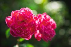 Fermez-vous vers le haut de doubles roses rouges dans la lumière naturelle Photo stock