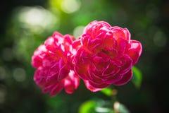 Fermez-vous vers le haut de doubles roses rouges dans la lumière naturelle Photos stock