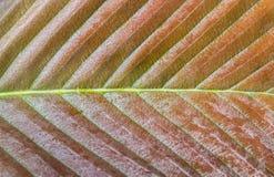 Fermez-vous vers le haut de Front Side Hairy Leaf Image libre de droits