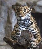 Fermez-vous vers le haut de grand Jaguar Photographie stock libre de droits