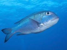 Fermez-vous vers le haut de grands poissons Trevally sous-marin de lèvres de grand oeil photo libre de droits