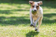 Fermez-vous vers le haut de Jack Russell Terrier Running photos stock