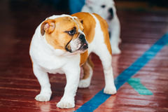 Fermez-vous vers le haut de jeune Brown et de chien anglais blanc de bouledogue Image libre de droits