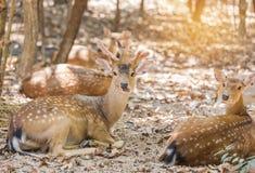 Fermez-vous vers le haut de jeunes cerfs communs ou de Cervus repéré Nippon de sika de cerfs communs de cerf commun ou japonais photographie stock libre de droits