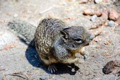 Fermez-vous vers le haut de l'écureuil Photo stock