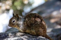 Fermez-vous vers le haut de l'écureuil Photos stock