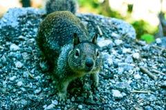 Fermez-vous vers le haut de l'écureuil Photographie stock libre de droits