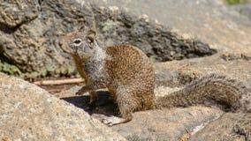 Fermez-vous vers le haut de l'écureuil Image stock