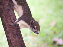 Fermez-vous vers le haut de l'écureuil pour lequel arrêtez prennent une photo Images stock