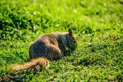Fermez-vous vers le haut de l'écureuil sur l'herbe Photographie stock libre de droits