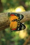 Fermez-vous vers le haut de l'élevage de papillon de monarque Photographie stock libre de droits