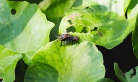Fermez-vous vers le haut de l'élevage noir de mouche domestique sur la feuille verte Image libre de droits