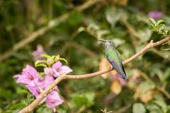 Fermez-vous vers le haut de l'émeraude andine Photographie stock libre de droits