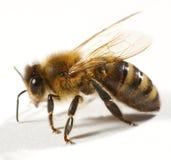 Fermez-vous vers le haut de l'abeille Photographie stock libre de droits