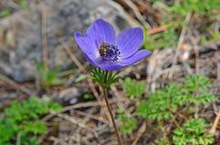 Fermez-vous vers le haut de l'abeille sur la fleur d'anémone Photos libres de droits
