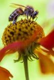 Fermez-vous vers le haut de l'abeille sur une fleur Images stock