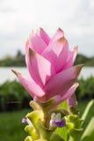 Fermez-vous vers le haut de l'alismatifolia de safran des Indes ou de la tulipe du Siam Photos libres de droits