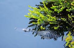 Fermez-vous vers le haut de l'alligator dans les marais Image libre de droits