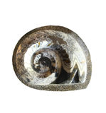 Fermez-vous vers le haut de l'ammonite d'isolement sur le blanc Photo libre de droits