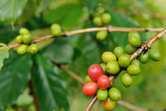 Fermez-vous vers le haut de l'arbre d'usines de café Photographie stock libre de droits