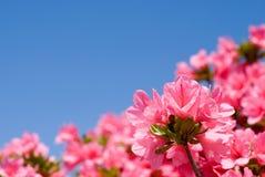Fermez-vous vers le haut de l'azalée rose Photo stock