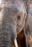 Fermez-vous vers le haut de l'eau potable d'éléphant dans la défense de safari de la Tanzanie photo libre de droits