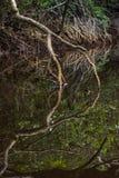 Fermez-vous vers le haut de l'embrouillement de l'élevage de racines et de branches d'arbre de palétuvier Images libres de droits