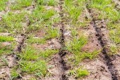 Fermez-vous vers le haut de l'engrais injecté sur l'herbe avec des fentes photos libres de droits