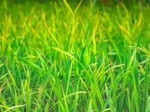 Fermez-vous vers le haut de l'herbe de feuille de vert de gisement de riz photos libres de droits