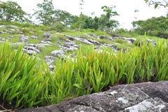 Fermez-vous vers le haut de l'herbe sur la pierre dans le phitsanulok de kla de rong de hin de phu Photographie stock libre de droits