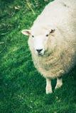 Fermez-vous vers le haut de l'image d'un mouton photographie stock