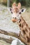 Fermez-vous vers le haut de l'image d'une girafe images stock