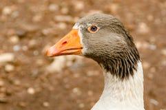 Fermez-vous vers le haut de l'image d'une tête d'oie Photo libre de droits