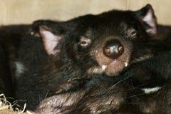 Fermez-vous vers le haut de l'image du sommeil de deux diables tasmaniens Photos libres de droits