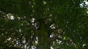 Fermez-vous vers le haut de l'inclinaison du grand arbre vert avec le soleil clips vidéos