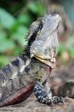 Fermez-vous vers le haut de l'indigène oriental de lézard de reptile de dragon d'eau à l'Australien Photo stock