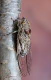 Fermez-vous vers le haut de l'insecte de cigale Image libre de droits